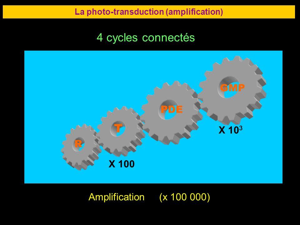 38 LA RETINE La photo-transduction (amplification) Amplification (x 100 000) 4 cycles connectés R T PDE GMP X 100 X 10 3