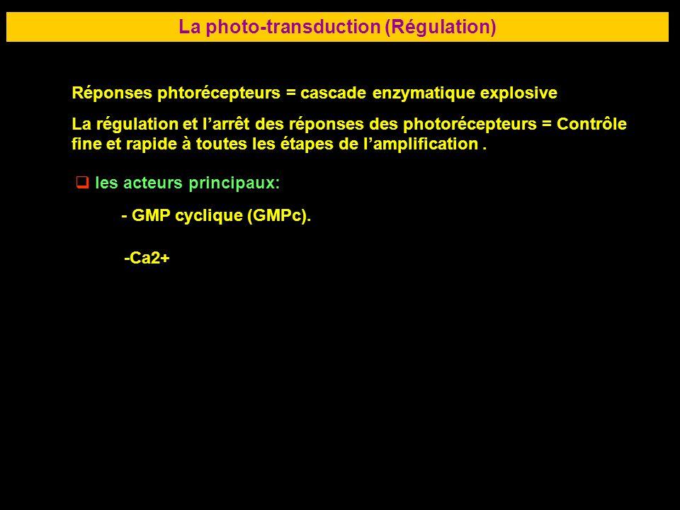 39 LA RETINE La photo-transduction (Régulation) Réponses phtorécepteurs = cascade enzymatique explosive La régulation et larrêt des réponses des photo