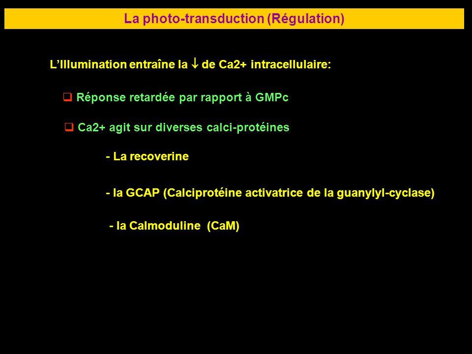 40 LA RETINE La photo-transduction (Régulation) LIllumination entraîne la de Ca2+ intracellulaire: Réponse retardée par rapport à GMPc Ca2+ agit sur d