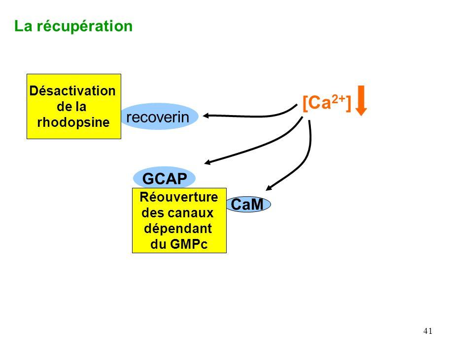 41 La récupération recoverin CaM GCAP [Ca 2+ ] Désactivation de la rhodopsine Réouverture des canaux dépendant du GMPc