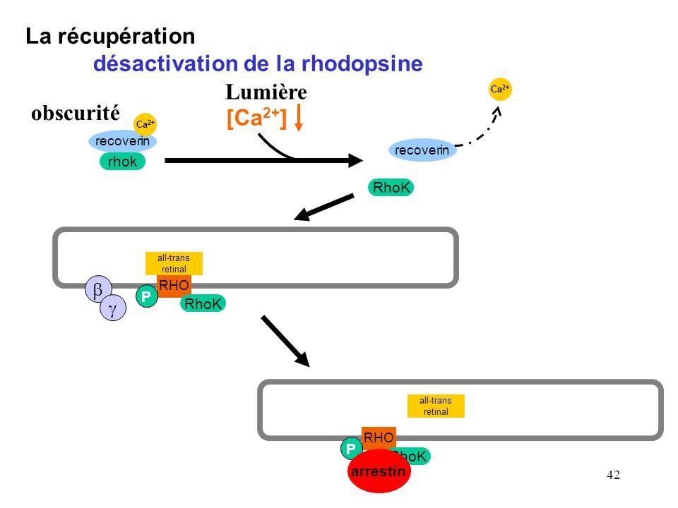 42 La récupération désactivation de la rhodopsine recoverin RhoK Ca 2+ recoverin rhok Ca 2+ obscurité RHO all-trans retinal RhoK P arrestin [Ca 2+ ] L