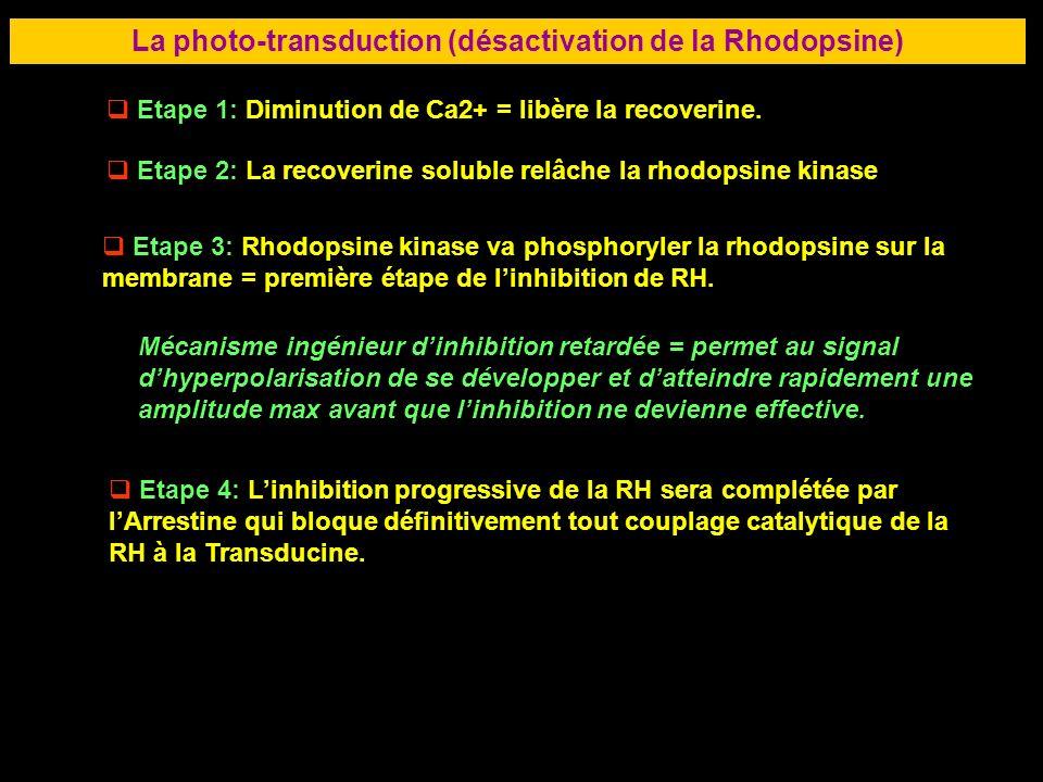 43 LA RETINE La photo-transduction (désactivation de la Rhodopsine) Etape 1: Diminution de Ca2+ = libère la recoverine. Etape 2: La recoverine soluble