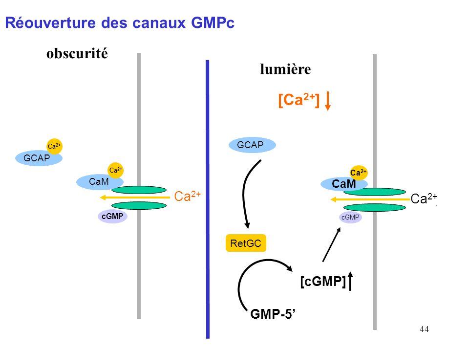 44 RetGC [cGMP] GCAP Ca 2+ CaM Ca 2+ cGMP obscurité [Ca 2+ ] lumière GCAP Ca 2+ CaM GMP-5 Ca 2+ cGMP Réouverture des canaux GMPc CaM Ca 2+