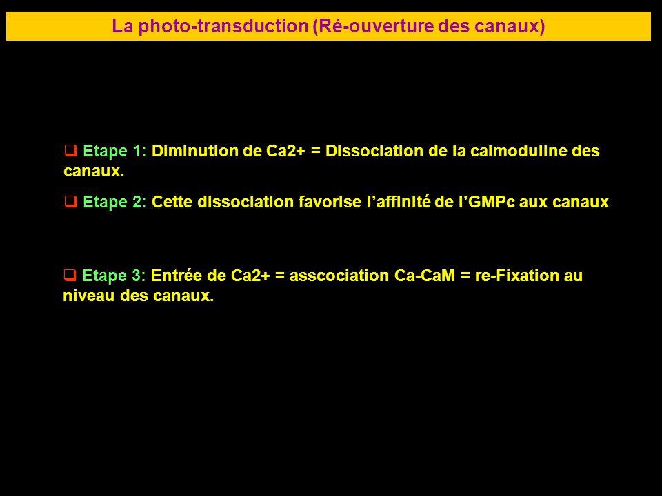 46 LA RETINE La photo-transduction (Ré-ouverture des canaux) Etape 1: Diminution de Ca2+ = Dissociation de la calmoduline des canaux. Etape 2: Cette d