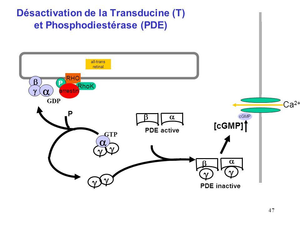 47 Désactivation de la Transducine (T) et Phosphodiestérase (PDE) PDE inactive RHO all-trans retinal RhoK P arrestin GTP PDE active GDP P [cGMP] Ca 2+