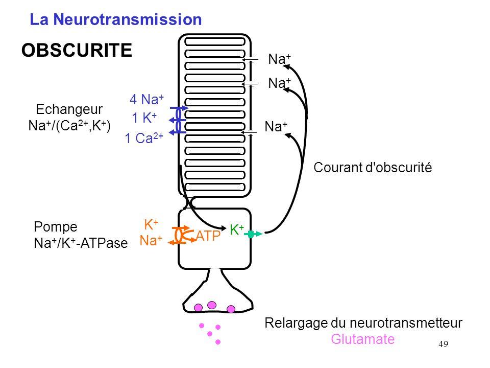 49 La Neurotransmission Courant d'obscurité K+K+ Na + ATP Na + 4 Na + 1 K + 1 Ca 2+ Echangeur Na + /(Ca 2+,K + ) Pompe Na + /K + -ATPase K+K+ Relargag