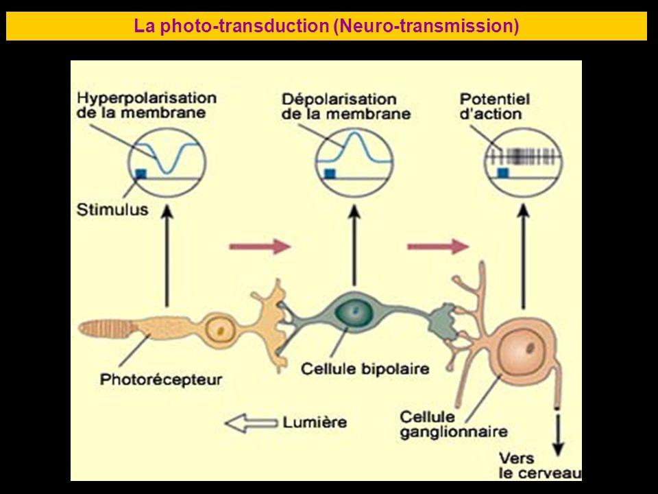 51 La photo-transduction (Neuro-transmission)