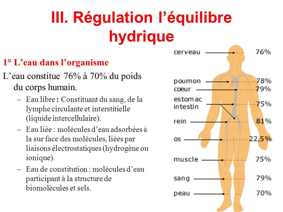 III. Régulation léquilibre hydrique 1° Leau dans lorganisme Leau constitue 76% à 70% du poids du corps humain. –Eau libre : Constituant du sang, de la