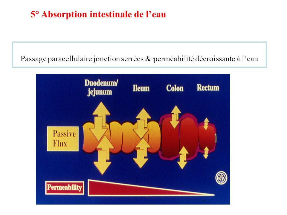 Passage paracellulaire jonction serrées & perméabilité décroissante à leau 5° Absorption intestinale de leau