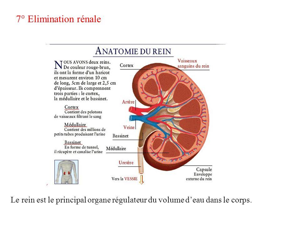 7° Elimination rénale Le rein est le principal organe régulateur du volume deau dans le corps.