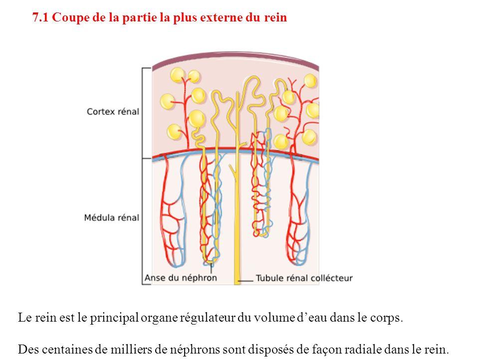 Des centaines de milliers de néphrons sont disposés de façon radiale dans le rein. 7.1 Coupe de la partie la plus externe du rein