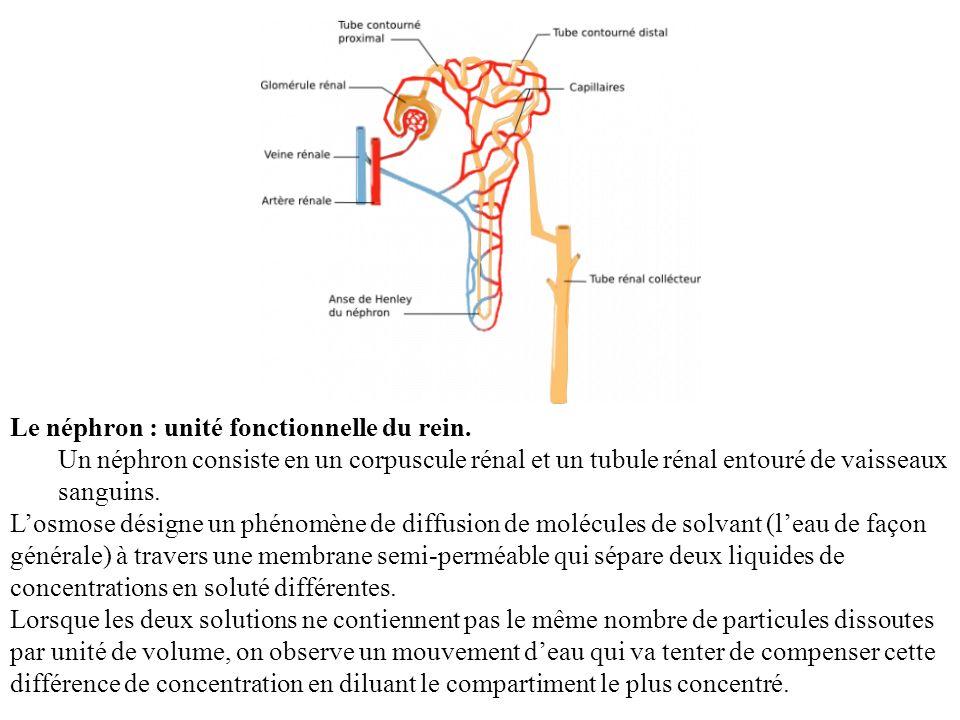 Le néphron : unité fonctionnelle du rein. Un néphron consiste en un corpuscule rénal et un tubule rénal entouré de vaisseaux sanguins. Losmose désigne
