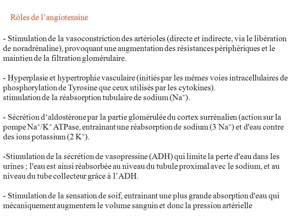 - Stimulation de la vasoconstriction des artérioles (directe et indirecte, via le libération de noradrénaline), provoquant une augmentation des résist