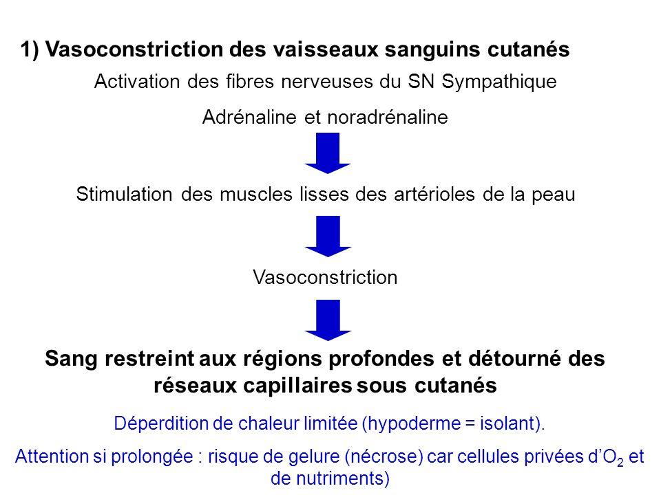 1) Vasoconstriction des vaisseaux sanguins cutanés Activation des fibres nerveuses du SN Sympathique Adrénaline et noradrénaline Stimulation des muscl