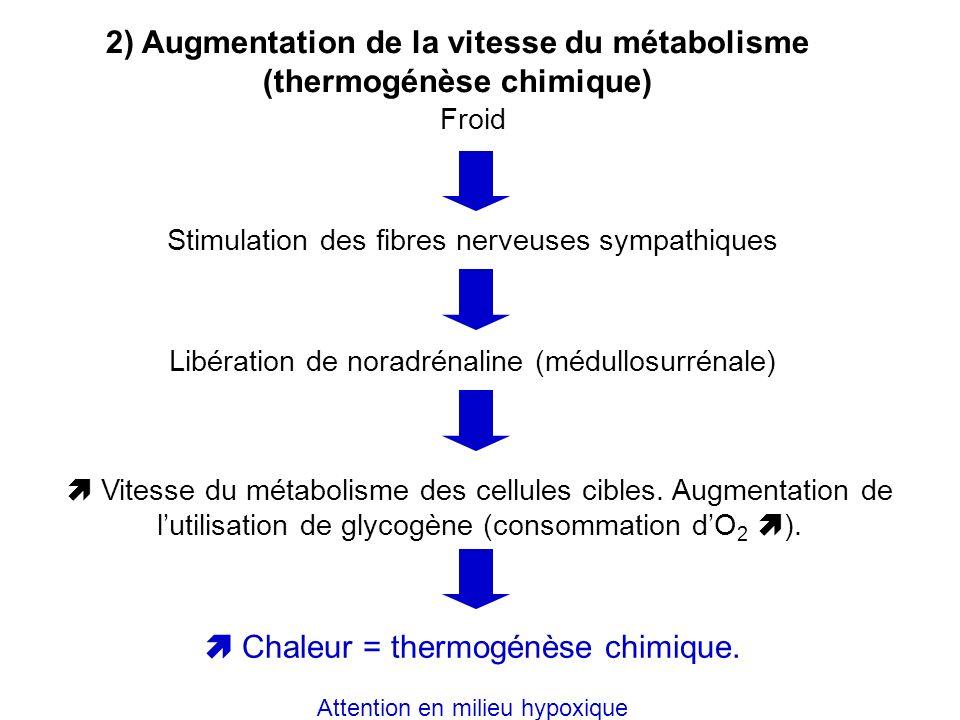 2) Augmentation de la vitesse du métabolisme (thermogénèse chimique) Froid Stimulation des fibres nerveuses sympathiques Libération de noradrénaline (