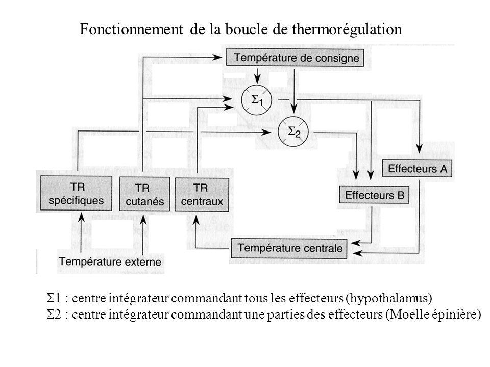 Fonctionnement de la boucle de thermorégulation 1 : centre intégrateur commandant tous les effecteurs (hypothalamus) 2 : centre intégrateur commandant