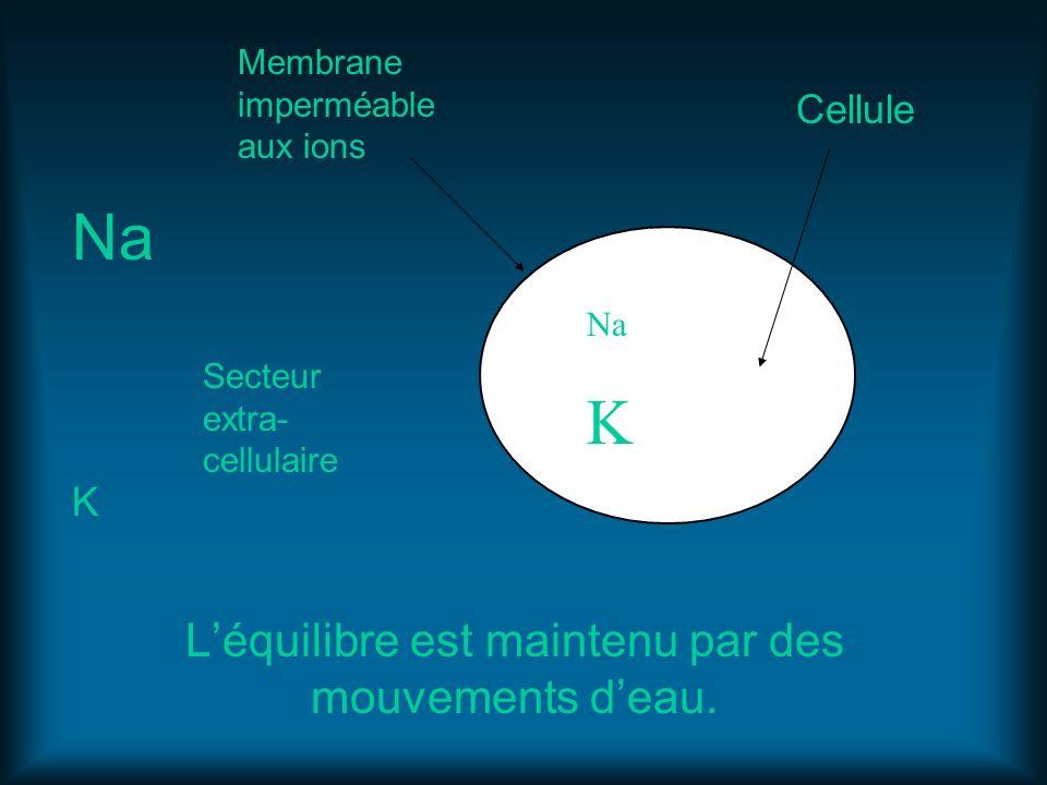 Léquilibre est maintenu par des mouvements deau. Na K Na K Membrane imperméable aux ions Cellule Secteur extra- cellulaire