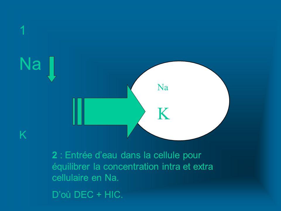Na K Na K 1 2 : Entrée deau dans la cellule pour équilibrer la concentration intra et extra cellulaire en Na. Doù DEC + HIC.