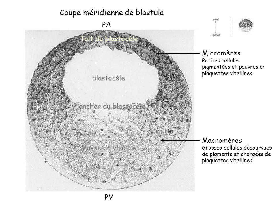Micromères Petites cellules pigmentées et pauvres en plaquettes vitellines Macromères Grosses cellules dépourvues de pigments et chargées de plaquette