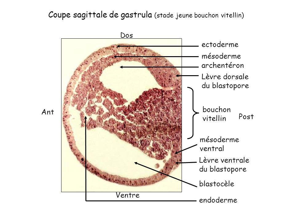 Coupe sagittale de gastrula (stade jeune bouchon vitellin) ectoderme mésoderme archentéron Lèvre dorsale du blastopore bouchon vitellin Lèvre ventrale