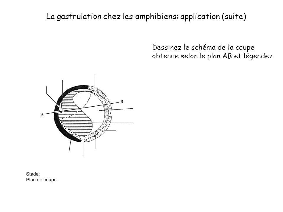 La gastrulation chez les amphibiens: application (suite) Dessinez le schéma de la coupe obtenue selon le plan AB et légendez