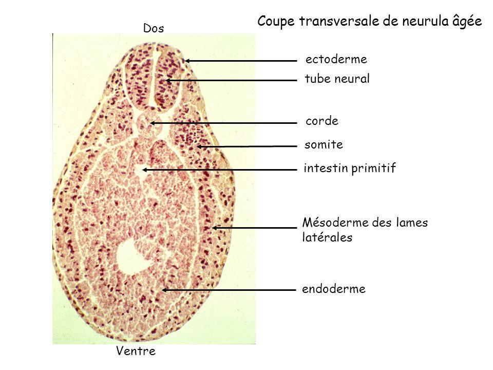 corde ectoderme tube neural somite intestin primitif Mésoderme des lames latérales endoderme Coupe transversale de neurula âgée Ventre Dos