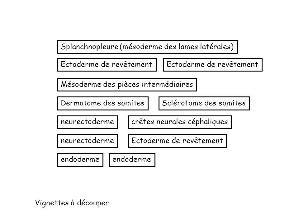 Splanchnopleure (mésoderme des lames latérales) Ectoderme de revêtement Mésoderme des pièces intermédiaires Dermatome des somitesSclérotome des somite