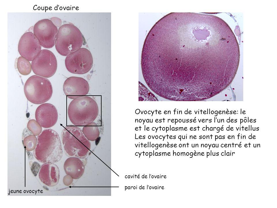 Lovocyte en fin de vitellogenèse est bloqué en prophase de 1 ère division de méïose, cest donc un ovocyte I.