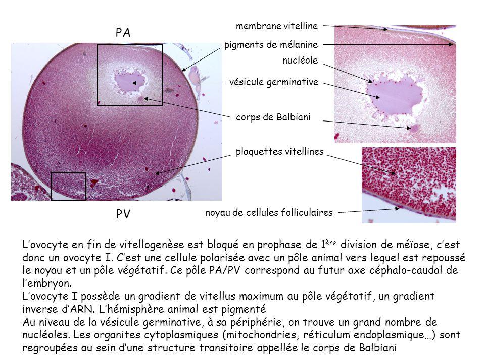 Lovocyte en fin de vitellogenèse est bloqué en prophase de 1 ère division de méïose, cest donc un ovocyte I. Cest une cellule polarisée avec un pôle a