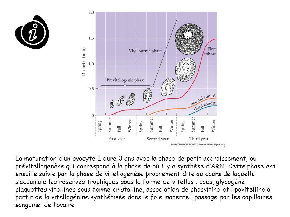 La maturation dun ovocyte I dure 3 ans avec la phase de petit accroissement, ou prévitellogenèse qui correspond à la phase de où il y a synthèse dARN.