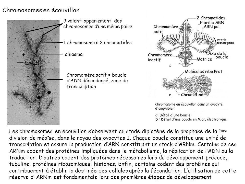 Les chromosomes en écouvillon sobservent au stade diplotène de la prophase de la 1 ère division de méoïse, dans le noyau des ovocytes I. Chaque boucle