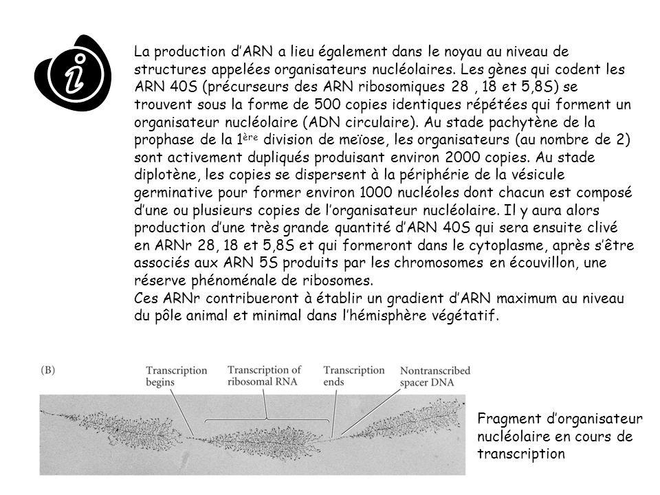 La production dARN a lieu également dans le noyau au niveau de structures appelées organisateurs nucléolaires. Les gènes qui codent les ARN 40S (précu