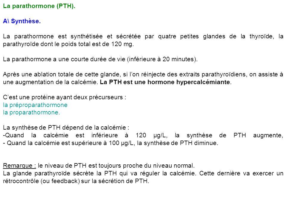 La parathormone (PTH). A\ Synthèse. La parathormone est synthétisée et sécrétée par quatre petites glandes de la thyroïde, la parathyroïde dont le poi