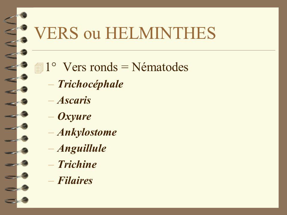 VERS ou HELMINTHES 4 1° Vers ronds = Nématodes –Trichocéphale –Ascaris –Oxyure –Ankylostome –Anguillule –Trichine –Filaires