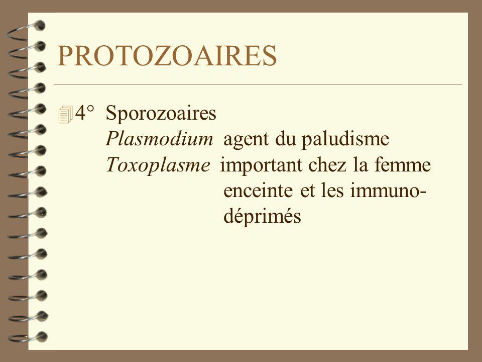 PROTOZOAIRES 4 4° Sporozoaires Plasmodium agent du paludisme Toxoplasme important chez la femme enceinte et les immuno- déprimés