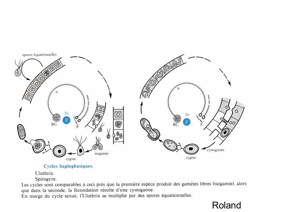 Cycles haplophasiques Roland