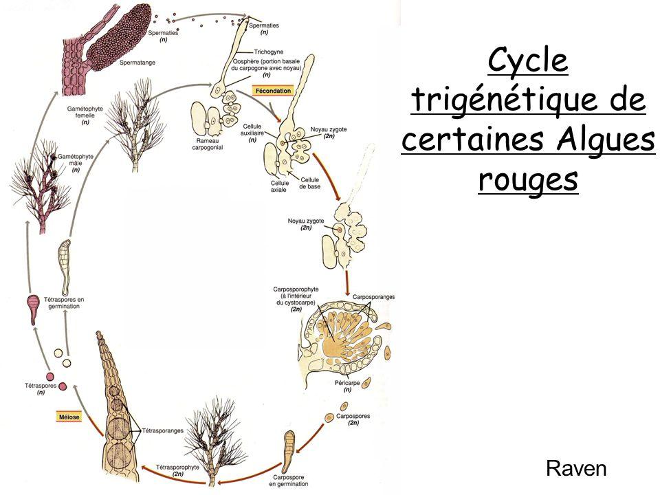 Cycle trigénétique de certaines Algues rouges Raven