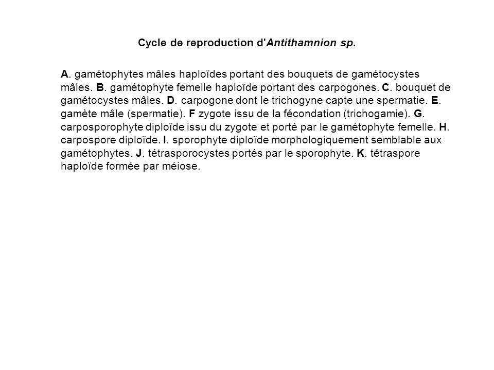 Cycle de reproduction d'Antithamnion sp. A. gamétophytes mâles haploïdes portant des bouquets de gamétocystes mâles. B. gamétophyte femelle haploïde p