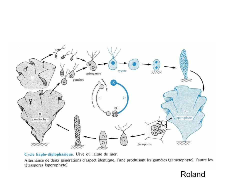 Cycle digénétique isomorphe dUlva lactuca Roland