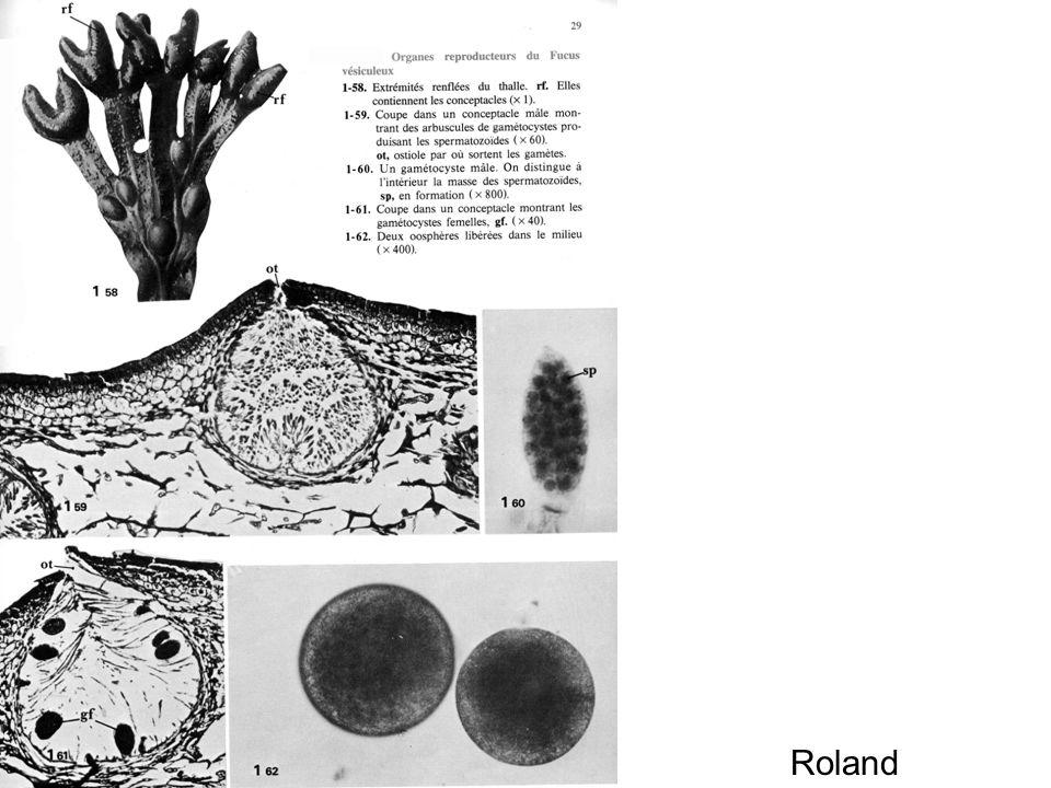 Organes sexuels du Fucus Roland