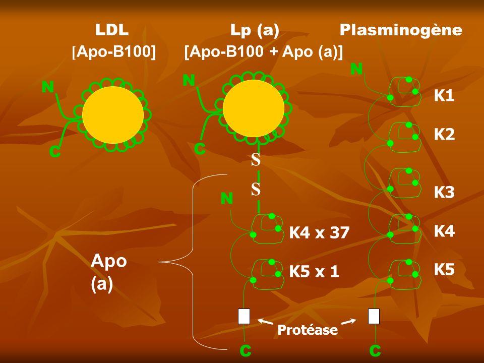 LDL Lp (a) Plasminogène Protéase C N C N C C N N S S [Apo-B100] [Apo-B100 + Apo (a)] Apo (a) K1 K2 K3 K4 K5 K4 x 37 K5 x 1