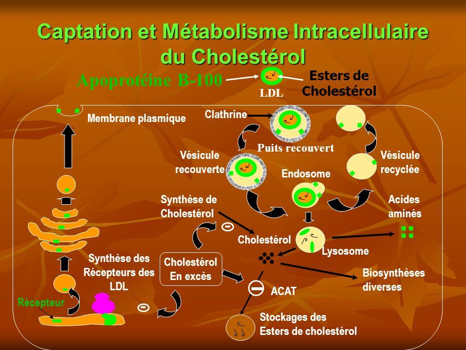 Captation et Métabolisme Intracellulaire du Cholestérol Synthèse des Récepteurs des LDL Synthèse de Cholestérol Récepteur Stockages des Esters de cholestérol Biosynthèses diverses Vésicule recyclée Vésicule recouverte Cholestérol Acides aminés Cholestérol En excès ACAT Lysosome Endosome Clathrine Membrane plasmique Esters de Cholestérol Apoprotéine B-100 LDL Puits recouvert +