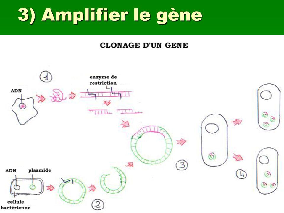 3) Amplifier le gène