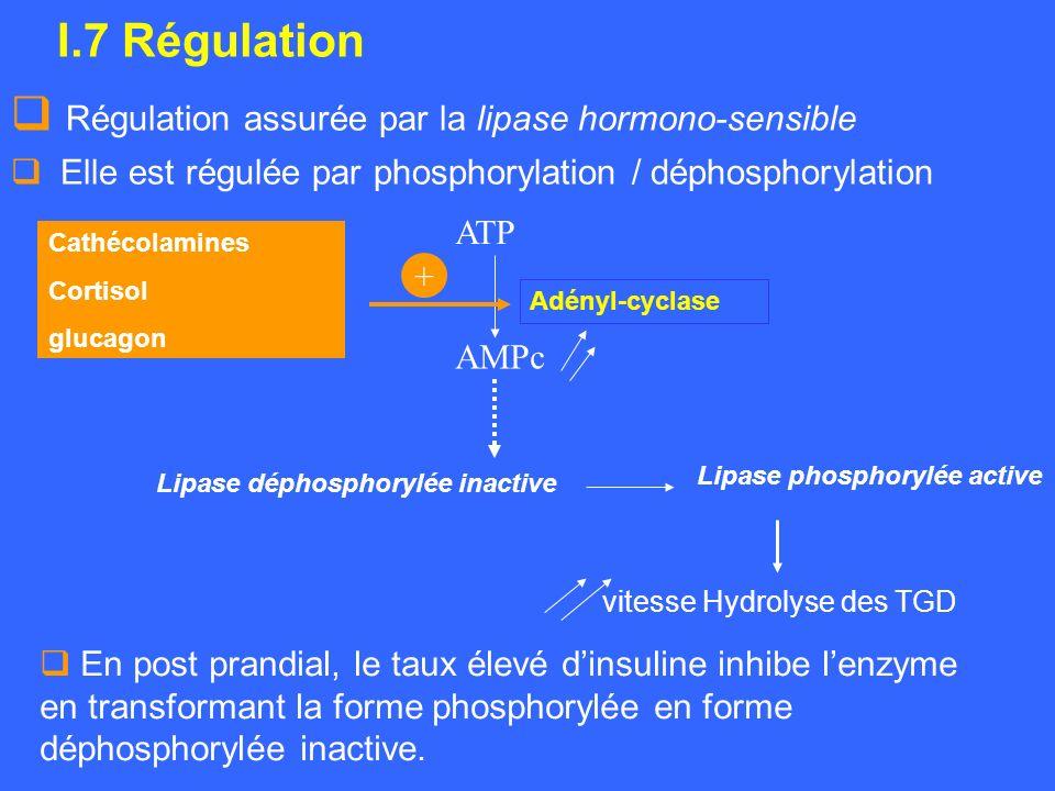 I.7 Régulation Régulation assurée par la lipase hormono-sensible Elle est régulée par phosphorylation / déphosphorylation AMPc Lipase déphosphorylée i