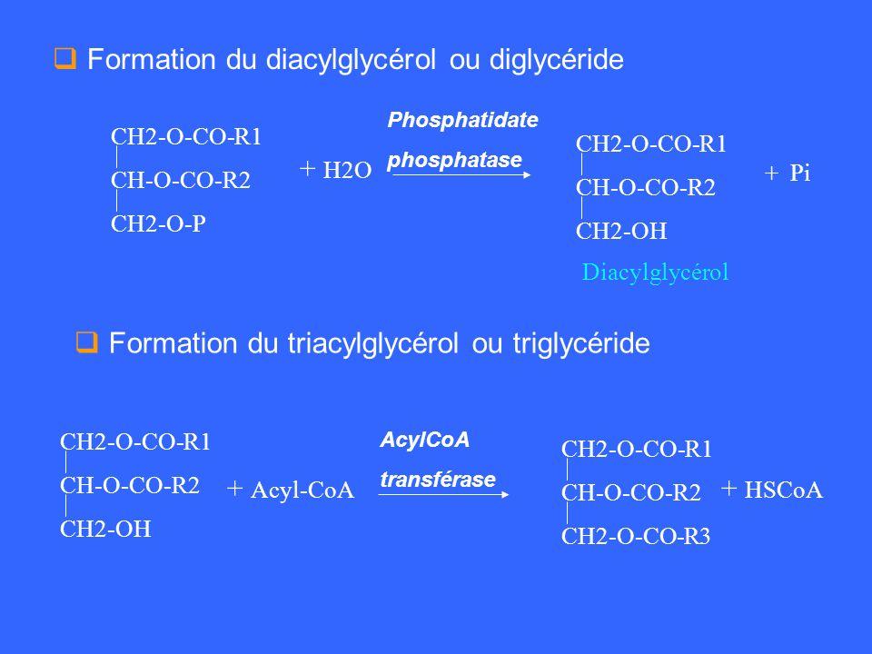CH2-O-CO-R1 CH-O-CO-R2 CH2-O-P + H2O + Pi Phosphatidate phosphatase Diacylglycérol Formation du triacylglycérol ou triglycéride Formation du diacylgly