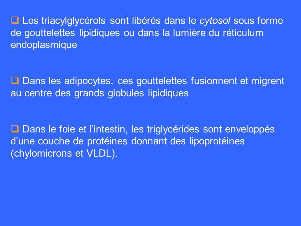 Les triacylglycérols sont libérés dans le cytosol sous forme de gouttelettes lipidiques ou dans la lumière du réticulum endoplasmique Dans les adipocy