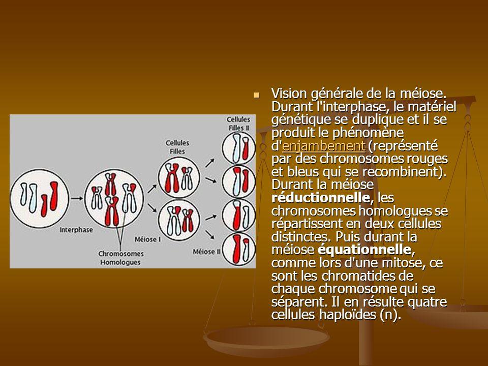 2 types de divisions Division réductionnelle : elle permet le passage dune cellule à 2n chromosomes (à 2 chromatides) à 2 cellules à n chromosomes (à 2 chromatides).