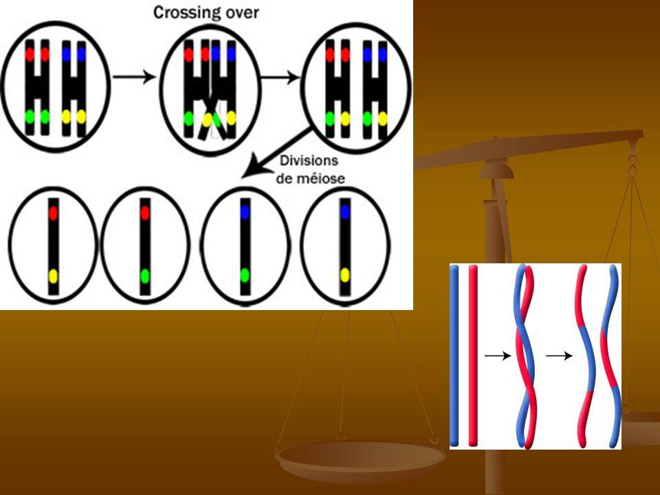 Division équationnelle : on obtient des cellules à n chromosomes à 1 chromatide.