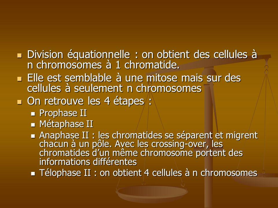 Division équationnelle : on obtient des cellules à n chromosomes à 1 chromatide. Division équationnelle : on obtient des cellules à n chromosomes à 1