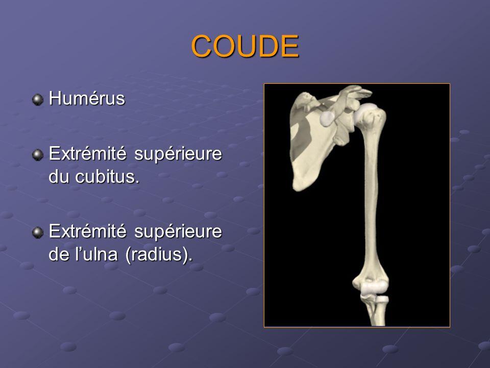 COUDE Humérus Extrémité supérieure du cubitus. Extrémité supérieure de lulna (radius).